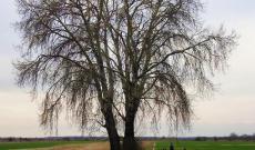 A Mezőgecse határában álló hatalmas nyírfa