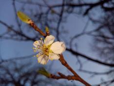 Az első virág