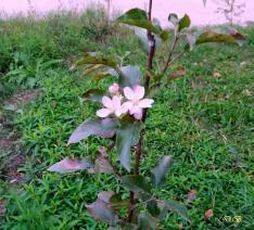 Rózsaszín ragyogás