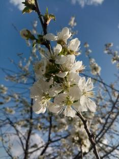 Virágos ágak