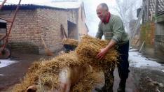 10. Majd gazdánk száraz szalmát hoz és vastagon befedi a disznót.