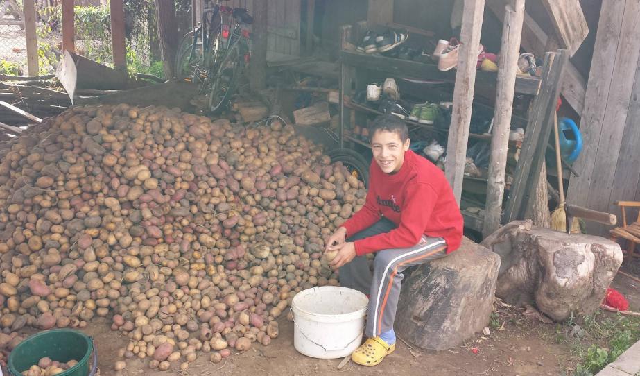 Krumplit válogattunk